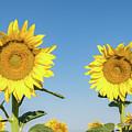 Sunflower Pair by Chris Augliera
