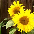 Sunflower Pair by Nancy Atherton Cheadle