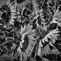 Sunflower Patch 001 Bw by Lance Vaughn