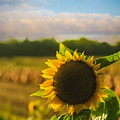 Sunflower Patch by Alissa Beth Photography