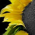 Sunflower by Paul Danaher