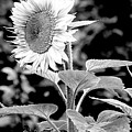 Sunflower Peace Canvas Print,photographic Print,art Print,framed Print,greeting Card,iphone Case, by David Millenheft