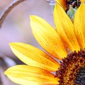 Sunflower Perspective by Amy Fose