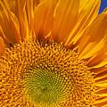 Sunflower Petals by Garry Gay