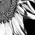 Sunflower Petals In Black And White by Smilin Eyes  Treasures