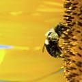 Sunflower Pollen by Jodi Lynne Belinski