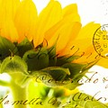 Sunflower Postcard by Clare Bevan