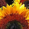 Sunflower Rise by Sarah Loft