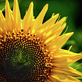 Sunflower by Robert Mitchell
