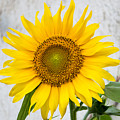 Sunflower by Sainuddeen Alanthi