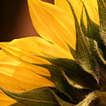 Sunflower by Sally Engdahl