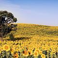 Sunflower Sea by Jayne Gohr