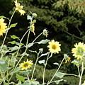 Sunflower Sea Of Happiness by Belinda Lee
