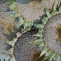 Sunflower Seed Heads Dried To Perfection by Julie Kindt