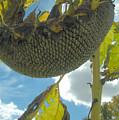 Sunflower Seeds by Trish Hale