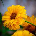 Sunflower by Sherri Barrett