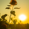 Sunflower Silhouette by Alissa Beth Photography