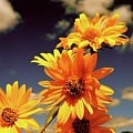 Sunflower Skies by Taylor McClish