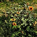 Sunflower Stalks by Scott Sawyer