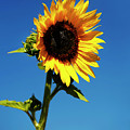 Sunflower Stand Alone by Marilyn Hunt