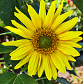 Sunflower by Sterling Haidt