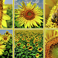 Sunflower Story - Collage by Daliana Pacuraru