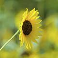 Sunflower Summer by Betty LaRue