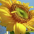 Sunflower Sunlit Sun Flowers 6 Blue Sky Giclee Art Prints Baslee Troutman by Baslee Troutman