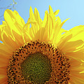 Sunflower Sunlit Sun Flowers Giclee Art Prints Baslee Troutman by Baslee Troutman