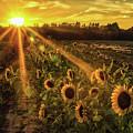 Sunflower Sunrays On Long Island, New York by Alissa Beth Photography