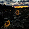 Sunflower Sunset by C  Renee Martin