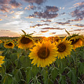 Sunflower Sunset by Paul Schultz