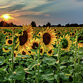 Sunflower Sunset by Rod Best