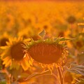 Sunflower Sunset by Saige Ouellet