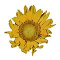 Sunflower T by David Stone