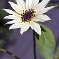 Sunflower by Tony Cordoza