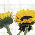 Sunflower Trio by Margie Avellino