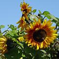 Sunflower Trio  by Suzanne Gaff