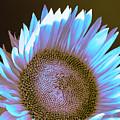 Sunflower Dusk by William Dey