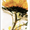 Sunflower Watercolor by Clare Bevan