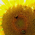 Sunflower With Bees by Bob Guthridge