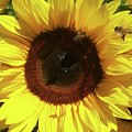 Sunflower With Bees by Christina Marie