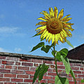 Sunflower With Brick Wall Poster by Margie Avellino