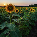 Sunflowers 2 by Heather Kenward