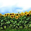 Sunflowers 2 by Jeff Barrett