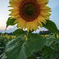 Sunflowers 3 by Heather Kenward