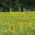 Sunflowers 3 by Sandra Bourret