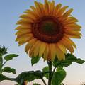 Sunflowers 4 by Heather Kenward