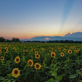 Sunflowers 5 by Heather Kenward