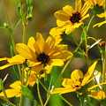 Sunflowers Along The Trail by Barbara Bowen